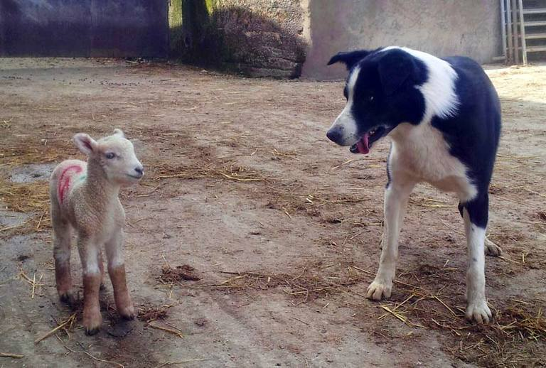 Dog looking at lamb who looks very sheepish